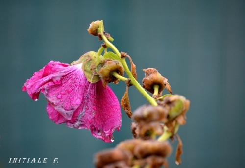 rose_decembre3_f