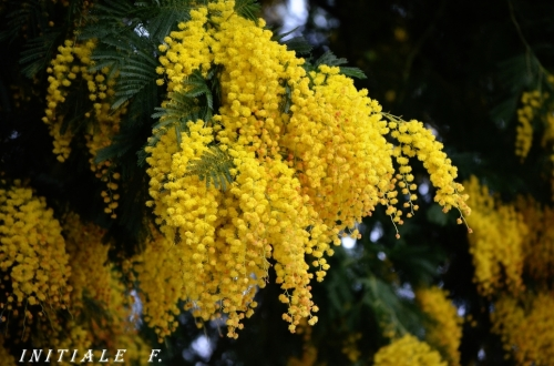 mimosa (1)