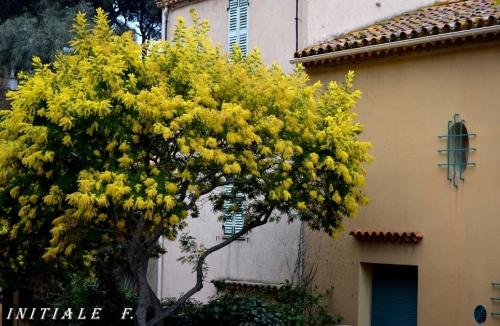 mimosa (2)