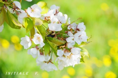 cerisiers (1)