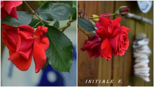 rose_rouge (1)