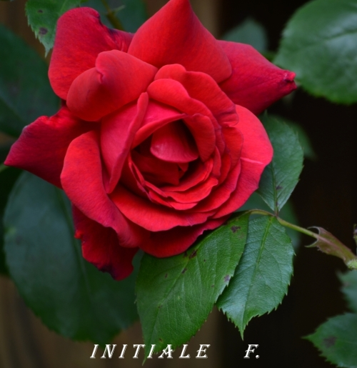 rose_rouge (3)