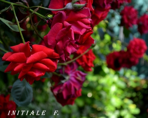 rose_rouge (4)