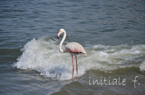 flamants_roses_1