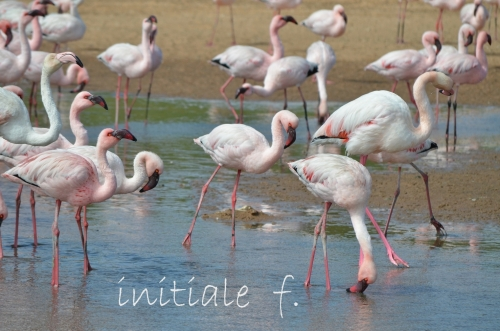 flamants_roses_2