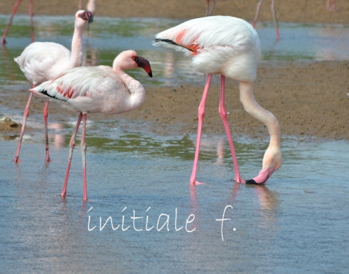 flamants_roses_4