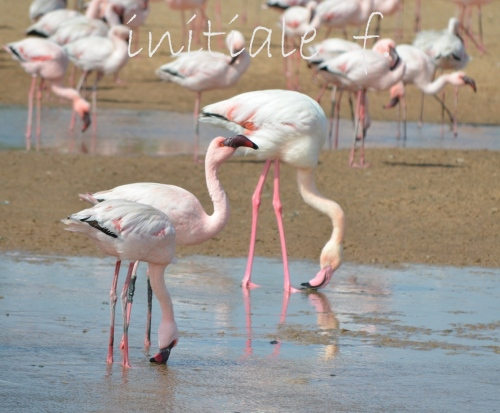 flamants_roses_5