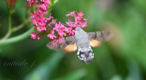 sphinx_colibri(2)