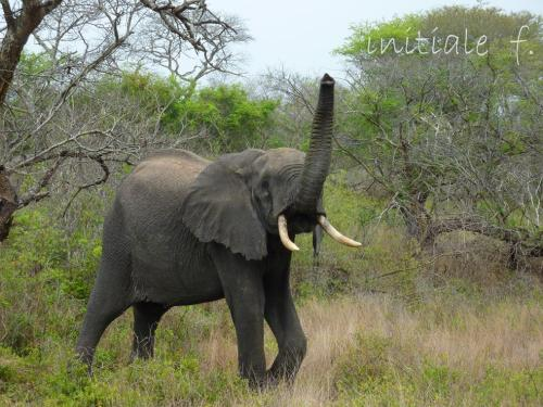 elephant_tembe_1