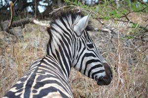zebre(4)