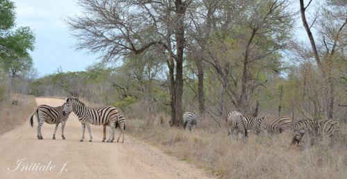 zebres (1)