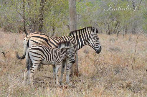 zebres (2)