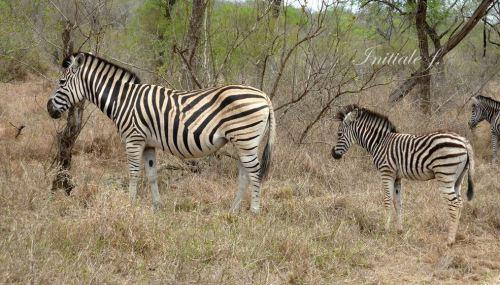 zebres (3)