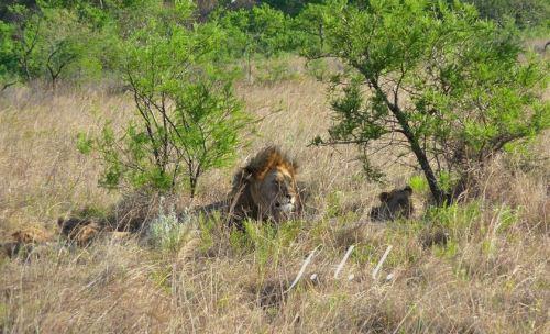 lion_et_lionceaux(1)