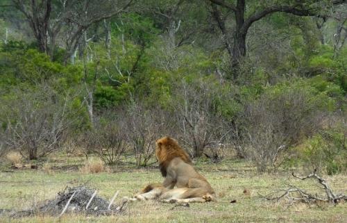 lions(1)