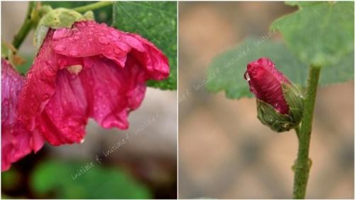 roses_tremieres.jpg