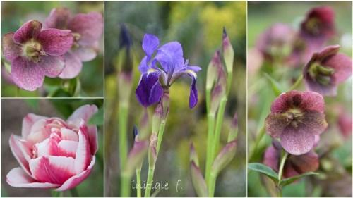 hellebore_iris_tulipe