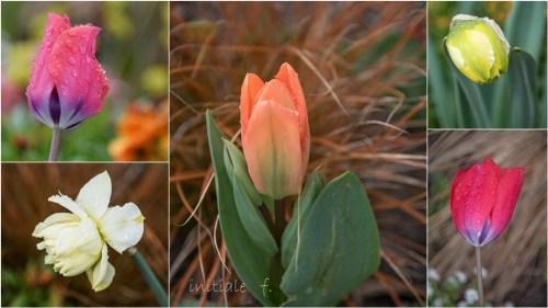 tulipes_et_jonquille